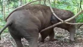 फिरक्या हुआ ...सावन में झूला झूलने की कोशिश कर रहा था हाथी